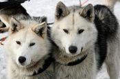 Барнаульцев приглашают покататься на лыжах с собаками