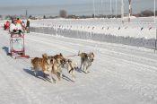 Собачья сила: гонки на собаках становятся популярным зимним развлечением у барнаульцев